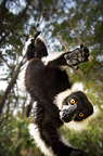 Adult Black & White Ruffed Lemur in suspensory posture. Andasibe-Mantadia National Park, eastern Madagascar