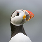 Atlantic Puffin. Isle of Lunga, Treshnish Isles, Isle of Mull, Scotland