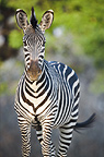 Crawshay's Zebra - subspecies of Plains Zebra. On the banks of the Luangwa River. South Luangwa National Park, Zambia