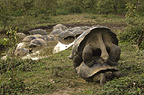 Galapagos Giant Tortoises mating, Alcedo Volcano crater floor, Isabela Island, Galapagos Islands, Ecuador, South America.