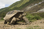 Galapagos Giant Tortoise and steam vent, Alcedo Volcano, Isabela Island, Galapagos Islands, Ecuador, South America.