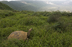 Galapagos Giant Tortoise on rim of Alcedo Volcano, Isabela Island, Galapagos Islands, Ecuador, South America.