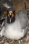 Swallow-tailed Gull on nest, Punto Cevallos, Espanola (Hood) Island, Galapagos Islands, Ecuador, South America.