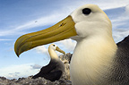 Waved Albatross, Punto Cevallos, Espanola (Hood) Island, Galapagos Islands, Ecuador, South America. (critically endangered)