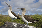Blue-footed booby courtship, Punto Cevallos, Espanola (Hood) Island, Galapagos Islands, Ecuador, South America.