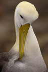 Waved Albatross preening, Punto Cevallos, Espanola (Hood) Island, Galapagos Islands, Ecuador, South America. (critically endangered)