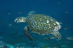 Hawksbill Turtle, Central Isles, Galapagos Islands, Ecuador, South America.