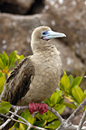 Red-footed booby sitting on a branch, Tower (Genovesa) Island, Galapagos Islands, Ecuador, South America.