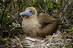 Red-footed booby sitting on nest, Tower (Genovesa) Island, Galapagos Islands, Ecuador, South America.