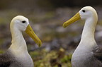 Waved Albatross courtship, Punto Cevallos, Espanola (Hood) Island, Galapagos Islands, Ecuador, South America. (critically endangered)