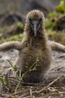Waved Albatross chick, Galapagos Islands, Ecuador, South America. (critically endangered)