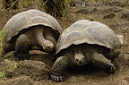 Galapagos Giant Tortoises, Highlands, Santa Cruz Island, Galapagos Islands, Ecuador, South America.