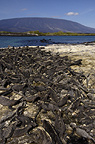 Marine Iguanas with Fernandina Volcano in the back ground, Fernandina Island, Galapagos Islands, Ecuador, South America.