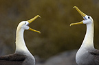 Waved albatross pair in courtship ritual, Espanloa (Hood) Island, Galapagos Islands, Ecuador, South America. (critically endangered)