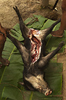 Bushmeat (White-lipped Peccary) hunted with a lance Huaorani Indians. Gabaro Community, Yasuni National Park, Amazon rainforest, Ecuador, South America.