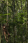 Huaorani Indian , Ontagamo Kaimo, out hunting with his  blowgun. Gabaro Community, Yasuni National Park, Amazon rainforest, Ecuador, South America.