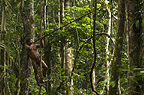 Huaorani Indian , Ontagamo Kaimo, hunting with his  blowgun. Gabaro Community, Yasuni National Park, Amazon rainforest, Ecuador, South America.