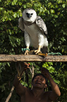 Huaorani Indians' pet Harpy Eagle, Yasuni National Park, Amazon rainforest, Ecuador, South America.
