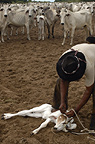 Cowboy 'Boiadeiro' and Pantanal calf to be ear marked. Mato Grosso do Sul Province, Brazil