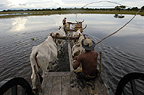 Ox cart being used during the floods when no other vehicle can manage the terrain, Central Pantanal, Brazil
