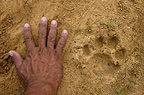 Jaguar footprint with hand for size comparison, Cuiaba River, Pantanal, Mato Grosso do Sul Province, Brazil