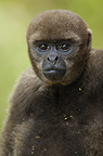 Common Woolly Monkey, Amazoonico Animal Rescue Center, Ecuador