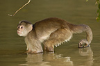 White-fronted capuchin monkey in river looking for food, Puerto Misahualli, Amazon rain forest, Ecuador