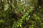 Primary forest, Western slope of Andes, Ecuador