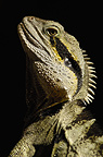 Eastern Water Dragon, Queensland, Australia