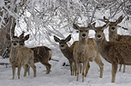 Mule deer during spring snow storm, Wyoming, USA