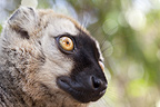 Red fronted brown lemur portrait, Kirindy forest, West Madagascar