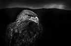 Golden Eagle male, black and white image. Captive bird, UK.