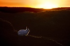 Mountain Hare at sunset with white coat that it develops during the winter. Kinder Scout, Peak District National Park, Derbyshire