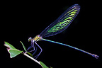 Iridescent Damselfly resting on vegetation at night in tropical rainforest. Masoala Peninsula National Park, Madagascar
