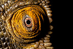Eye of Parson's Chameleon, Madagascar