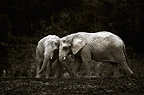 Two young African elephants, Cabarceno, Spain