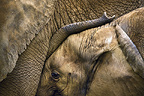 Young African elephant with mother, Cabarceno, Spain