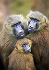Guinea Baboon family with baby, Cabarceno, Spain