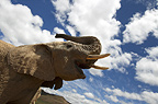 African elephant against the sky, South Africa