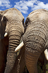 Close up of two african elephants, South Africa