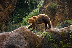 Brown bear walking, Cabarceno, Spain