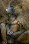 Guinea Baboon with infant, Cabraceno, Spain