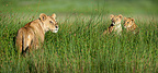 Female African Lion with 4 month old cubs, Big Marsh, Ndutu, Serengeti, Tanzania