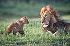 Male African Lion playing with 4 month old cub, Big Marsh, Ndutu, Serengeti, Tanzania