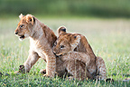 African Lion cubs, around 4 months old playing together, Big Marsh, Serengeti, Tanzania