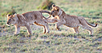 African Lion cubs, around 4 months old, playing together, Big Marsh, Serengeti, Tanzania