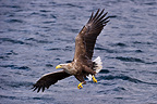 Male White-tailed Sea Eagle swooping to take a fish from the water's surface, Loch Na Keal, Isle of Mull, Scotland (baited)
