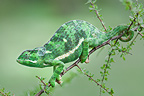 Adult Flap-necked Chameleon on Acacia bush, Ndutu Safari Lodge, Ngorongoro Conservation Area, Tanzania.