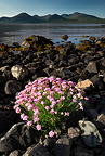 Thrift flowering on shoreline of Loch Na Keal, Isle of Mull, Scotland, June 2011