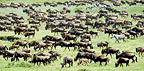 Massing herds of White-bearded Wildebeest on migration, Ndutu, Serengeti, Tanzania